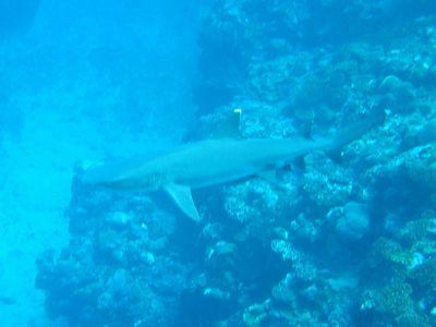 シュノーケルツアー中にサメ